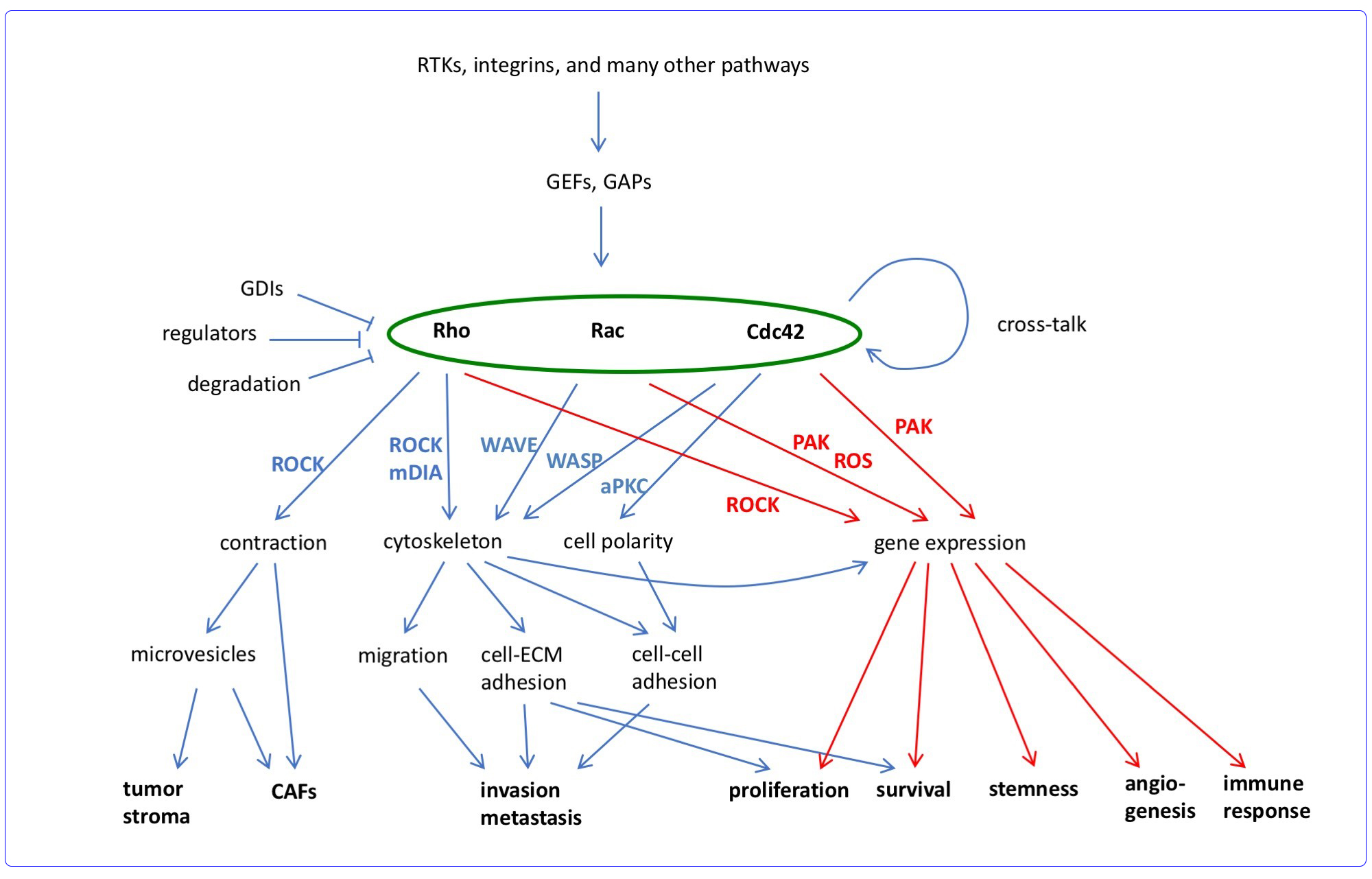 Overview of tumor relevant functions of Rho GTPases. Simplified scheme showing major regulation and effector pathways of Rho GTPases in cancer with a focus on Rho, Rac, and Cdc42. Important effector pathways are indicated beside the corresponding arrows. Rho GTPases regulate invasion and metastasis particularly by controlling cytoskeletal organization. Rho GTPase‐dependent gene expression controls stemness, angiogenesis, and immune response, while proliferation and survival are affected by cytoskeleton and gene expression. Rho‐dependent cell contraction is important for microvesicle and CAF formation (RTKs: receptor tyrosine kinases; ROS: reactive oxygen species; CAF: cancer associated fibroblasts).