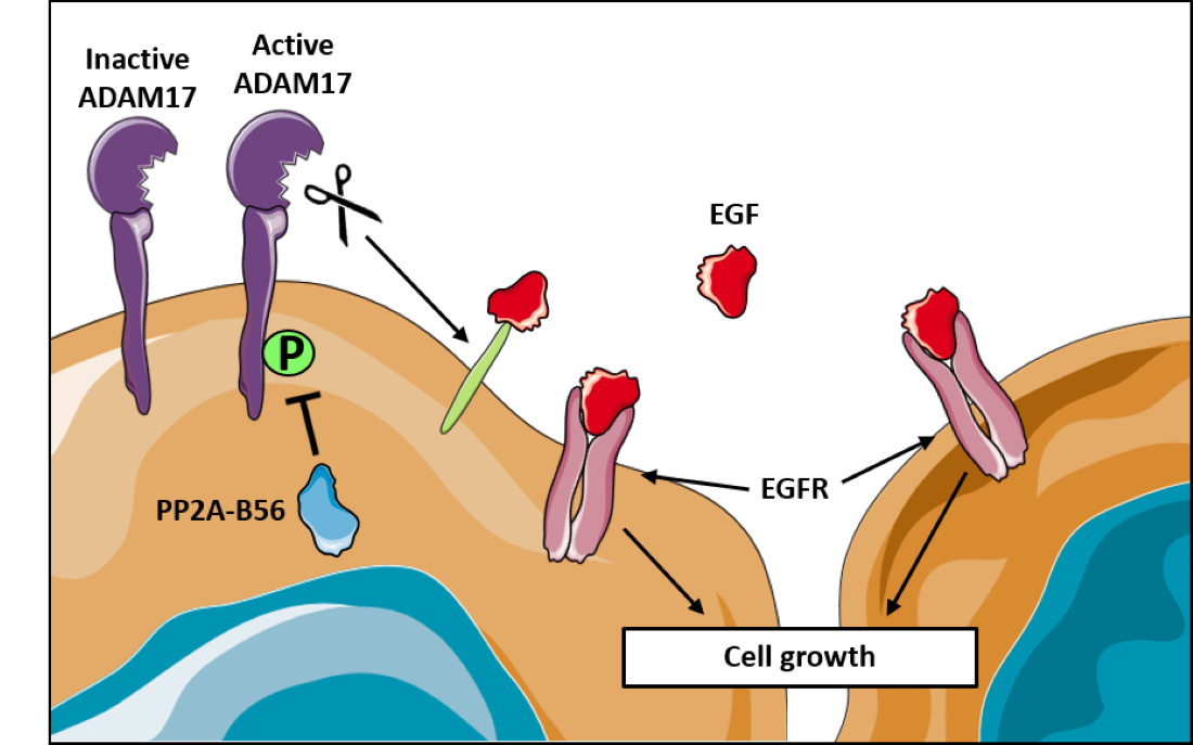 PP2A binding to ADAM17 whcich cleaves other proteins such as the growth factor EGF which again binds the receptor EGFR and stimulates cell growth.